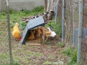 Chicken Coop 023